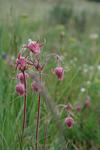 magenta wildflowers