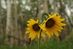 wild sunflowers
